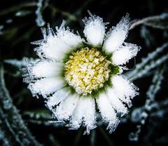 Frozen Lawn Daisy 2020