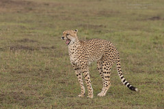Female Cheetah - Acinonyx jubatus