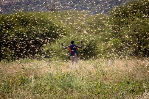 Walking through a Desert Locust swarm