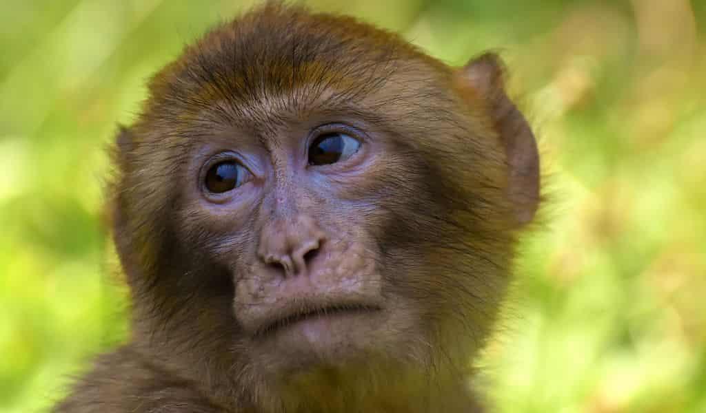 nerfs-tranchés-réparés-chez-le-singe-par-des-tubes-de-protéines-de-croissance