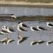 Echasse blanche (Himantopus himantopus ).jpg