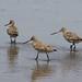 Bar-tailed godwits, Shoalhaven Heads