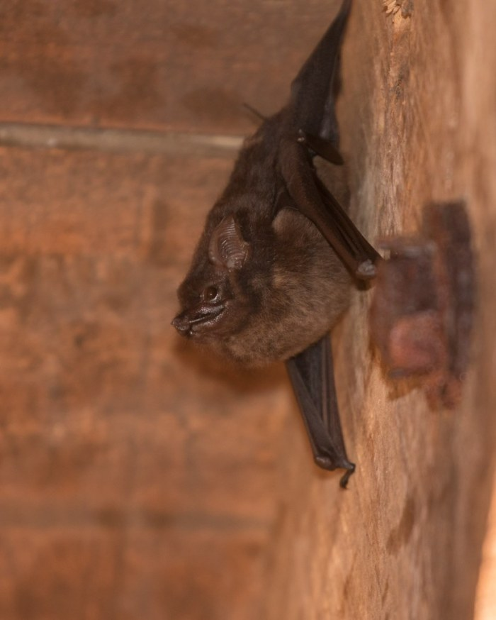 A Bat in the eaves