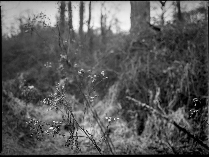 winter landscape, wildflowers, near dusk, Biltmore Estate, Asheville, NC, Mamiya 645 Pro, Kodak Tri-X 400, Moersch Eco film developer, 1.10.20