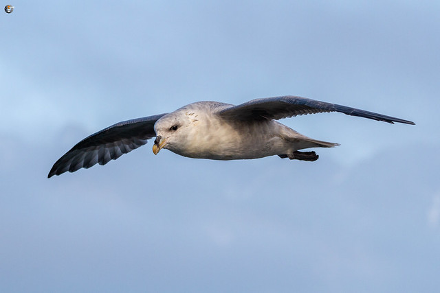Studying the flying of Northern fulmar (Eissturmvogel / Fulmarus glacialis)