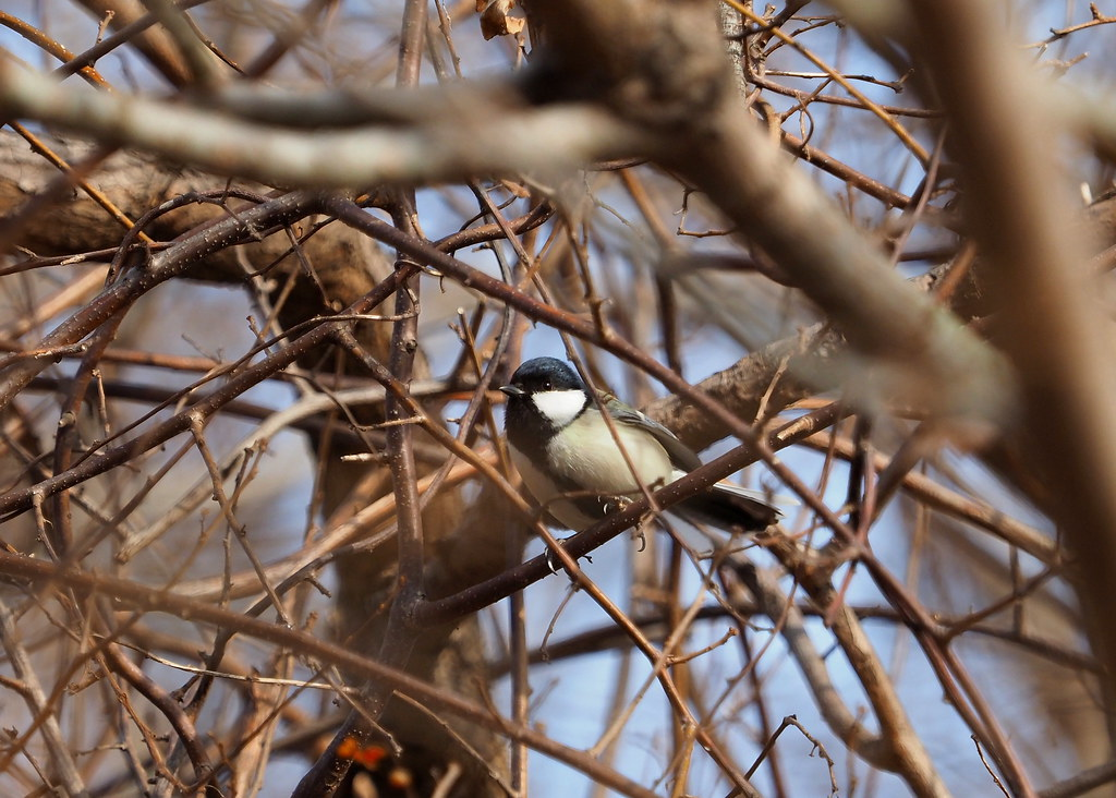 Japanese tit (Parus minor, シジュウカラ)