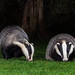 European Badgers.