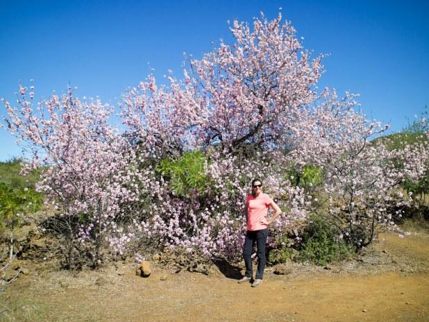 Almendro en flor en Santiago del Teide
