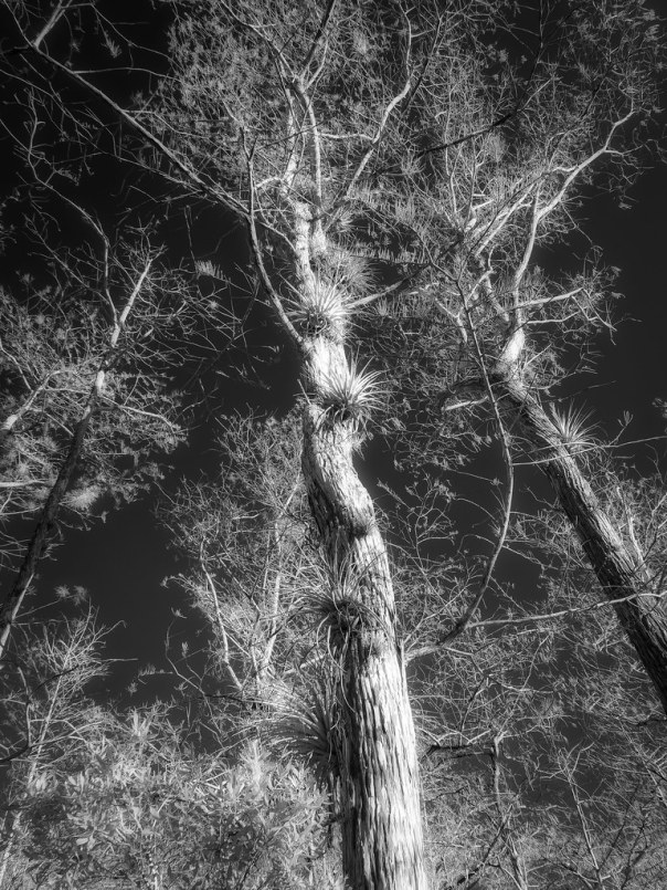 Cyprress and air plants, IR B&W