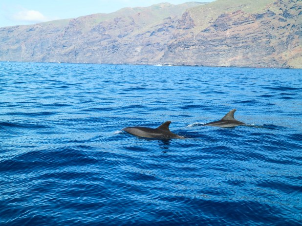 Delfines observados en excursiones para ver delfines y ballenas en Tenerife