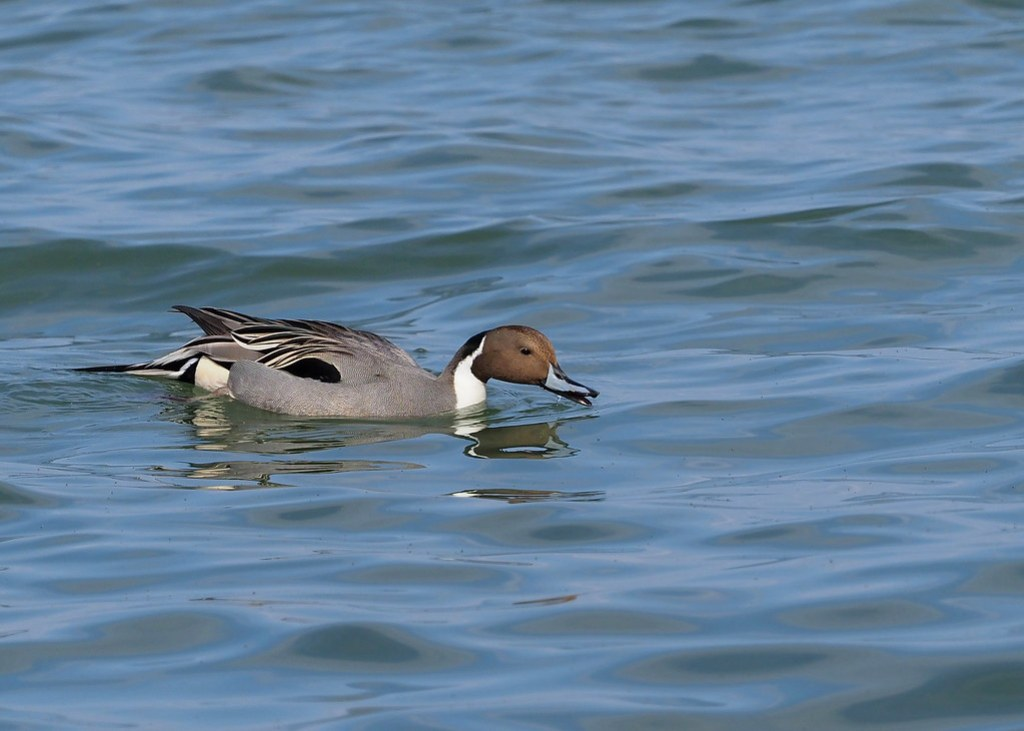 Northern pintail male (Anas acuta Linnaeus, オナガガモ)