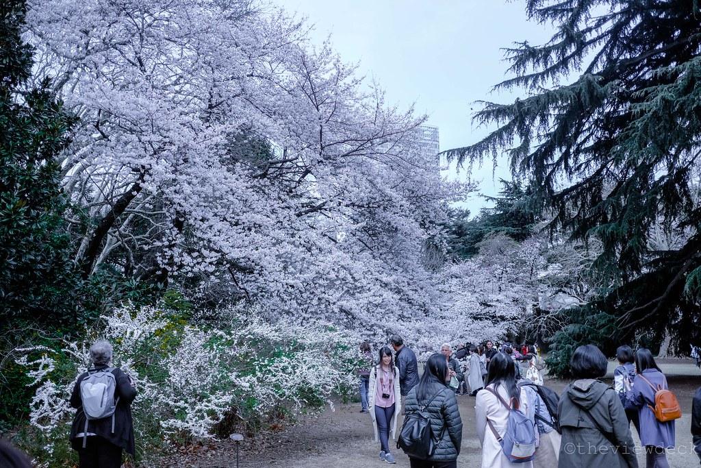 Cherry Blossom in Shinjuku