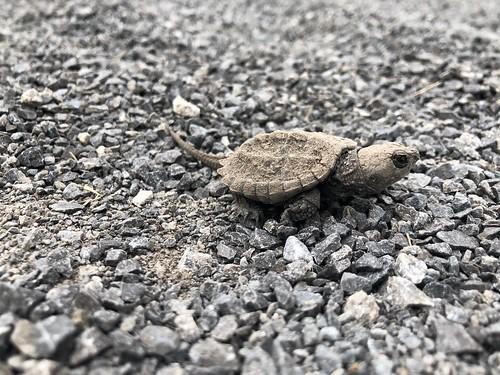Carleton Place - baby turtle
