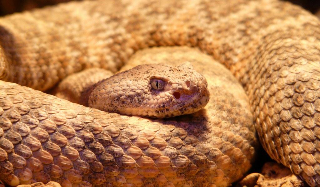 une-toxine-du-serpent-à-sonnette-peut-fonctionner-comme-analgésique-contre-les-douleurs-neuropathiques
