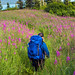 Fields of Fireweed