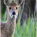 Chinese Water Deer Portrait.