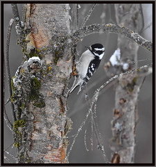 It is all about the Birch. The bird is just a bonus.