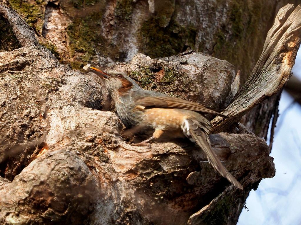 Brown-eared bulbul (Hypsipetes amaurotis, ヒヨドリ)