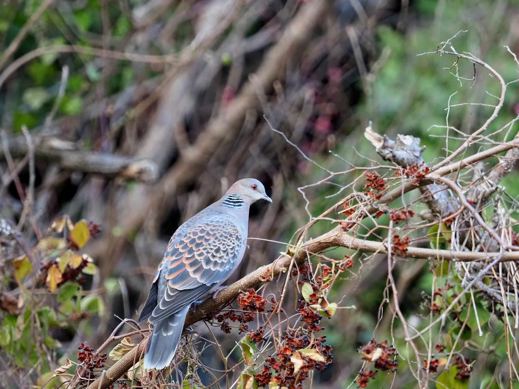 Oriental Turtle-Dove (Streptopelia orientalis, キジバト)