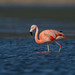 Chilean Flamingo  (X02_9296-1)
