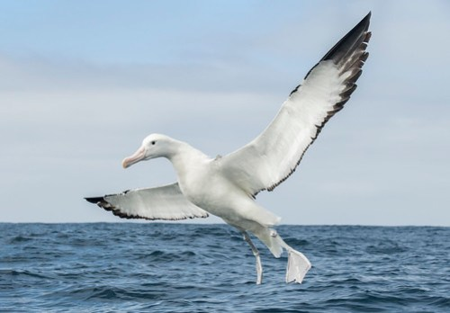 Gibson's Albatross or Gibson's Wandering Albatross Coming Down