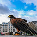 A Harris Hawk sang in Trafalgar Square...