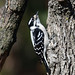 850_3201.jpg=022320 Downy Woodpecker(Explored 2-27-2020