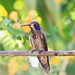 Brown Violetear / Colibri de Delphine ( Richard )
