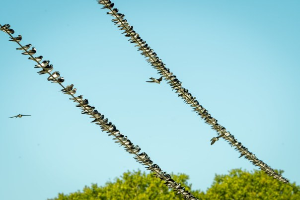 Resting Tree Swallows
