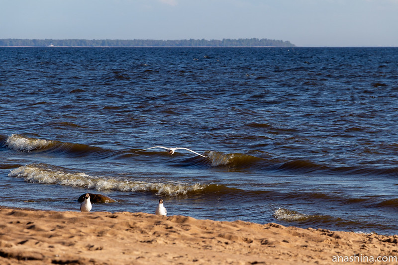 Чайки, Финский залив