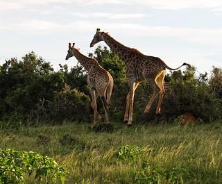 Jumping giraffes!