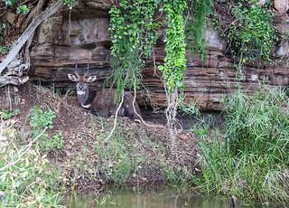 Old Bushbuck