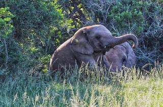 Playful baby elephant