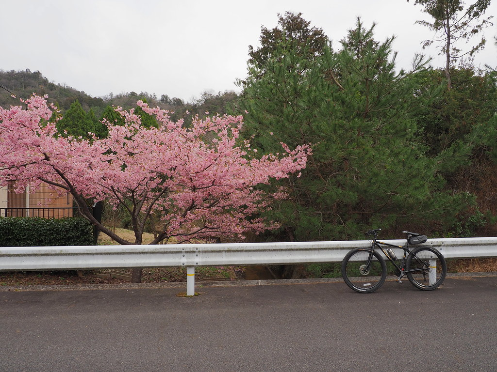 Pink cherry blossoms (桜)