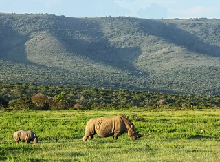 White rhino with baby following