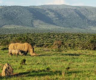 White rhino next to baby