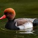 Common Pochard  9757