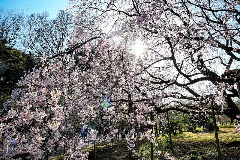 shidare sakura weeping cherry Rikugien 2020 06