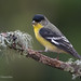 Male Lesser Goldfinch Perched On A Lace Lichen Covered Branch