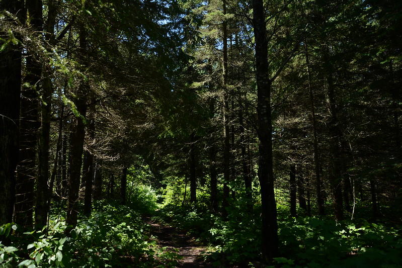 Northern forest on Isle Royale
