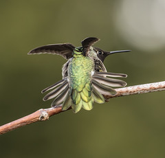 Anna's Hummingbird (M)-2497