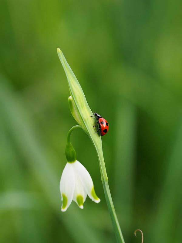 Seven-spotted ladybug (Coccinella septempunctata, ナナホシテントウ)