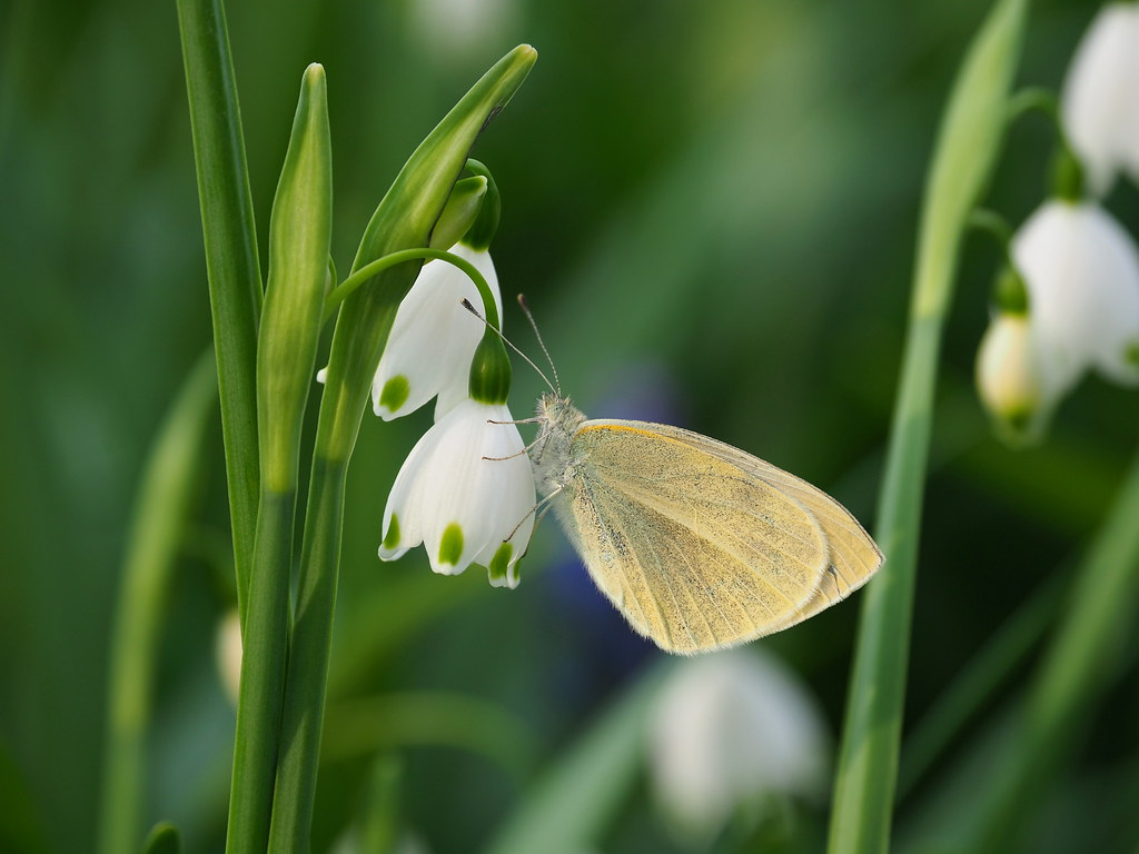 Small white butterfly (Pieris rapae, モンシロチョウ)