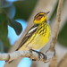 Cape May Warbler (Setophaga tigrina)