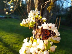Letting our Painted Ladies go on the Pear Blossoms