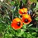 Tulpenblüten - Heute morgen