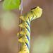 Esfinge de la Calavera/ Acherontia atropos