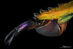 Garra de Lamprima adolphinae [Indonesia, Papua Nueva Guinea]