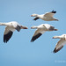 Snow Geese Flying Across A Blue Sky