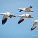 Snow Geese Flying Across A Blue Sky